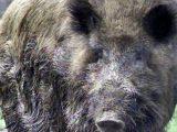 Намериха мъртво прасе с африканска чума